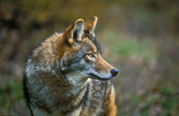Rise of the coyote: The new top dog : Nature News & Comment