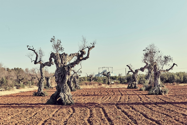 olive tree research