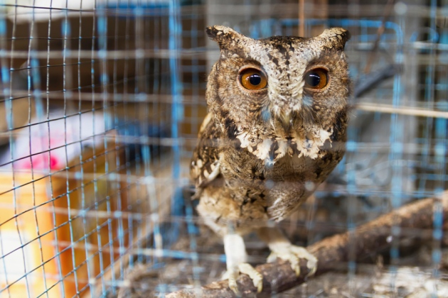 has harry potter mania cursed indonesia s owls nature news comment