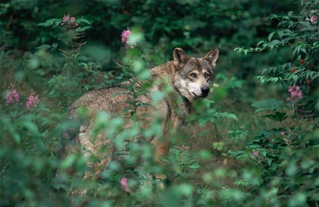 Ancient genomes heat up dog domestication debate : Nature