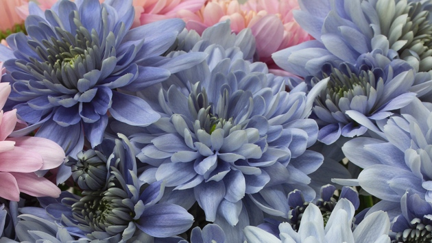 True Blue Chrysanthemum Flowers Produced With Genetic Engineering