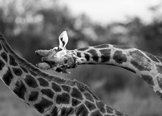 Giraffes could have evolved long necks to keep cool
