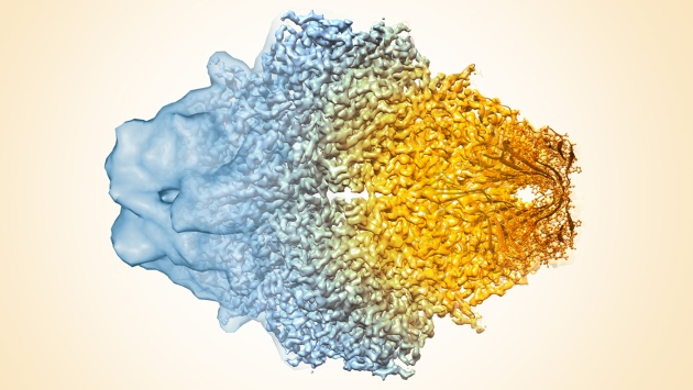 Cryo-electron microscopy of proteins such as this          β-galaxtosidase enzyme has progressed from the low-resolution          density map on the left to the atomic coordinates on the right.
