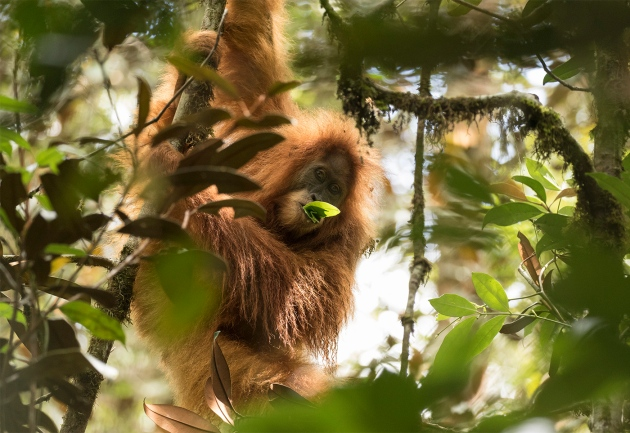Image of: Endangered Species Newly Discovered Orangutan Species Is Also The Most Endangered Nature Newly Discovered Orangutan Species Is Also The Most Endangered