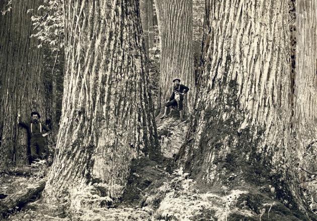 Plant science The chestnut resurrection Nature News Comment