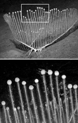 The vertical branches of the harp sponge are tipped by swollen terminal balls containing packets of sperm.  MBARI