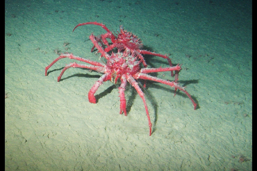 King Crabs Habitat Such as These King Crabs