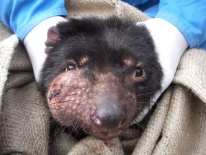 vaccine hope for tasmanian devil tumour disease nature news comment