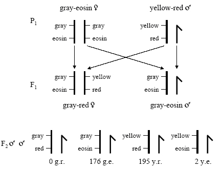 A diagram shows genotypes of the parental, F1, and F2 generations in Sturtevant's cross. Chromosomes are represented as thick, vertical black lines. The lines are intersected in two places by short, thin, horizontal black lines that mark two genes located along the length of the chromosomes. The genes are for body color (gray or yellow) and eye color (eosin or red). The parental generation begins with homozygous females for gray body color and eosin eye color and males with one X chromosome containing genes for yellow body color and red eye color. Mating between these two parental flies may yield two genotypes in the F1 generation, gray-red females and gray-eosin males. A cross between these two F1 generation genotypes may yield four male genotypes in the F2 generation: gray-red, gray eosin, yellow-red, and yellow-eosin.