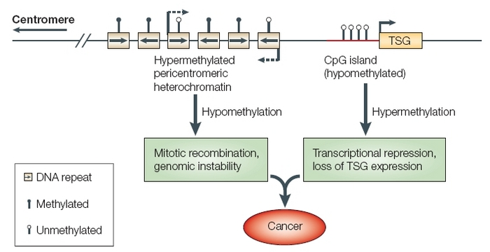 The Role of Methylation in Gene Expression | Learn Science at Scitable