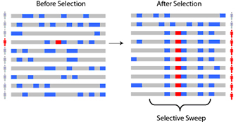 A two-part diagram shows chromosomes in a population of ten individuals before and after selection. One chromosome is shown for each of the ten individuals and is depicted as a horizontal grey rectangle. Blue rectangular regions along the chromosomes represent derived alleles. Red rectangles along the chromosome represent new, advantageous alleles. The diagram at left shows a population before selection of an advantageous allele has occurred. A single individual in the population has a red rectangle, or advantageous allele, along their chromosome. The diagram at right shows a population after selection of the advantageous allele has occurred. In this population, eight individuals have the advantageous allele along their chromosome.