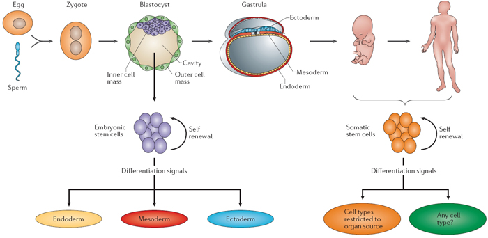 Embryonic And Somatic Stem Cells As A Source Of Genetic Medicines