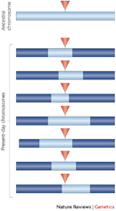 A chromosomal region is depicted as an elongated horizontal rectangle in this schematic illustration. Eight chromosomal regions are arranged in parallel from top to bottom. The topmost cylinder represents the ancestral chromosome and is a light blue color. The seven cylinders below it represent present-day chromosomes and are a dark-blue color. Each present-day chromosome has a light blue region at its center. The light blue region varies in length and position in each of the chromosomes. A red triangle at the center of each chromosome within the light blue region indicates a mutation has occurred.
