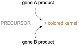 A conceptual diagram with words and arrows shows how the products of two different genes can affect the color of wheat kernels. The main pathway is depicted with the word precursor followed by a grey, horizontal, dashed arrow leading to the words colored kernel. In the diagram, the text colored kernel is shown in light brown to represent the color of the wheat kernel. The product of either gene A or gene B can convert the precursor molecule into the pigment responsible for coloring the wheat kernel. This action is shown by curved, solid black arrows leading from the words gene A product above and gene B product below to the dashed arrow of the main reaction.