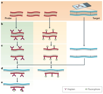 Fluorescence In Situ Hybridization (FISH) | Learn Science at Scitable