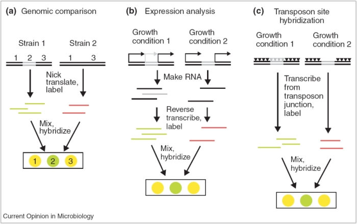 Genetic origins of microbial virulence learn science at scitable this three panel diagram show three methods for identifying virulence genes using microarrays genomic ccuart Choice Image
