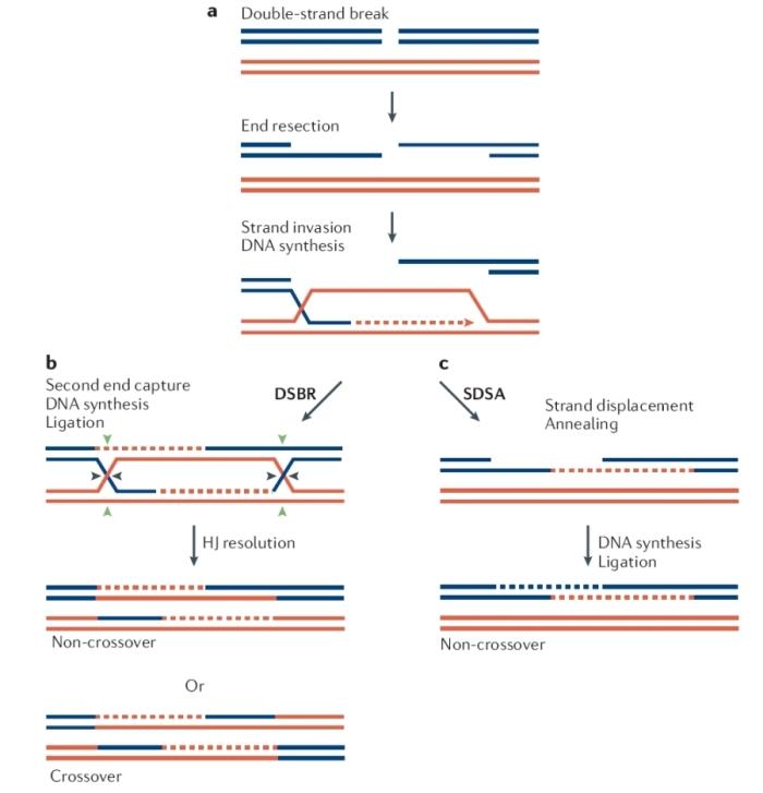Zinc finger nuclease - Wikipedia