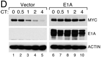 Six photographs of Western blots show expression of the proteins Myc, E1A, and actin in the absence and presence of adenovirus E1A protein overexpression. The photographs are labeled to show which protein is being examined, whether the cells in the blot contain either an empty vector or the same vector harboring the adenovirus E1A gene to induce E1A protein overexpression, and the amount of time that the cells were treated with cycloheximide, a protein synthesis inhibitor. The data shows that Myc protein expression is stabilized in cells overexpressing adenovirus E1A protein.