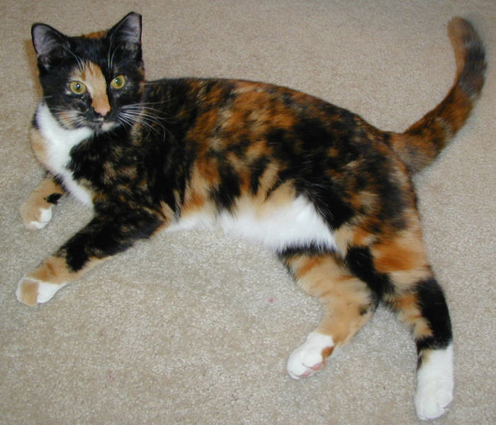calico cat learn science at scitable