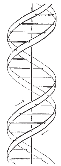 diagram of dna double helix as proposed by james watson