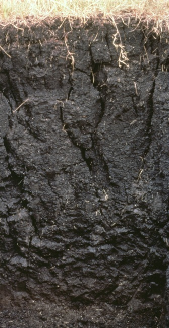 A Vertisol high in shrink-swell clay showing cracks formed during a dry period.