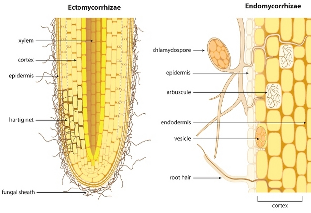 Schematic showing the difference between ectomycorrhizae and endomycorrhizae