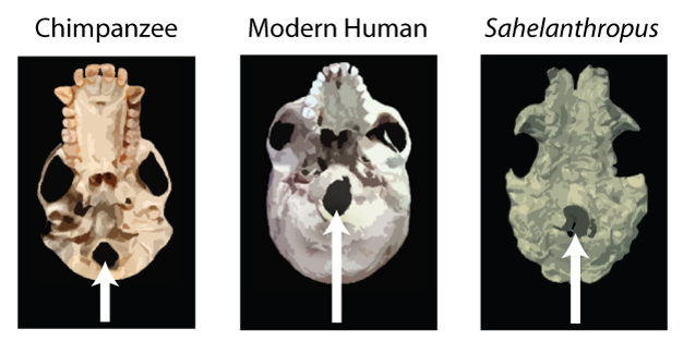 A comparison of the position of the foramen magnum (marked by white arrows) in chimpanzee, modern human and <i>Sahelanthropus</i>.