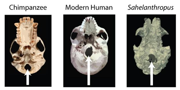 Una comparación de la posición del foramen magnum (marcado por flechas blancas) en el chimpancé, humano moderno y <i> tchadensis </ i>.