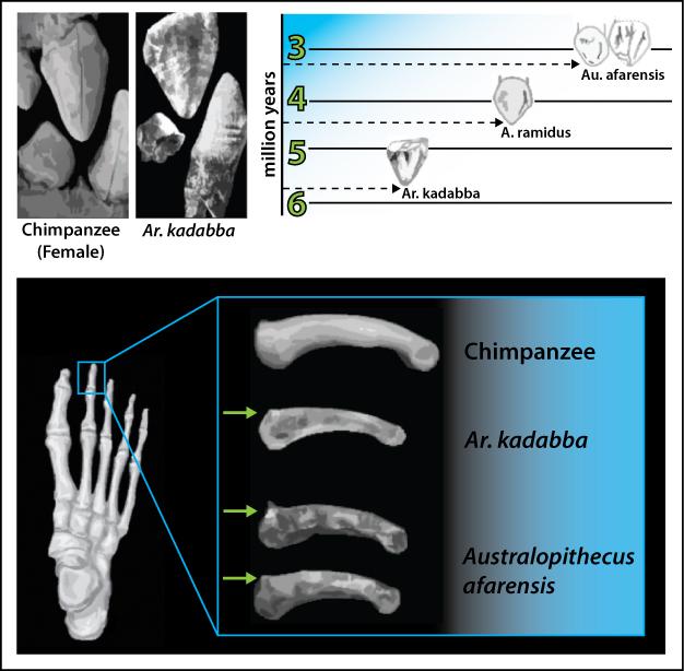 Marco superior: Imágenes que muestran el primitivismo de Ar.  kaddaba canino superior que eleva a su propia especie