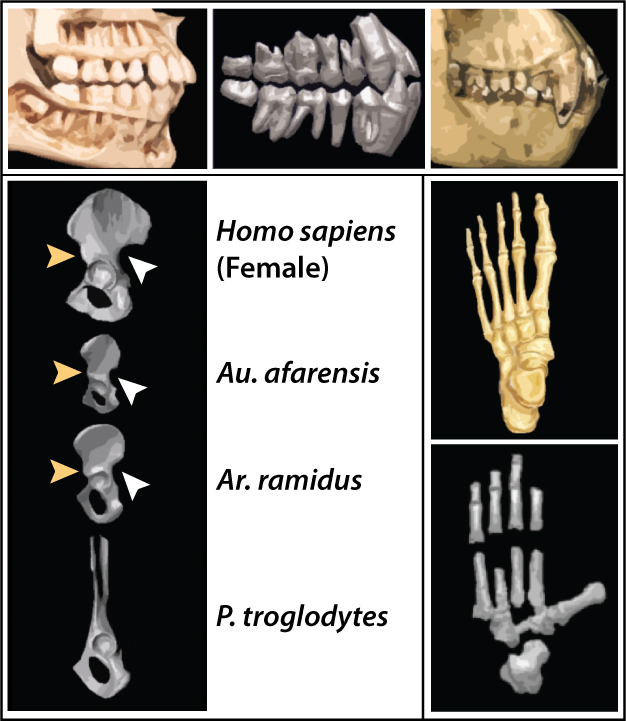 Top frame: comparison of the teeth of Ar. ramidus (middle) with those of modern human (left) and chimpanzee (right).