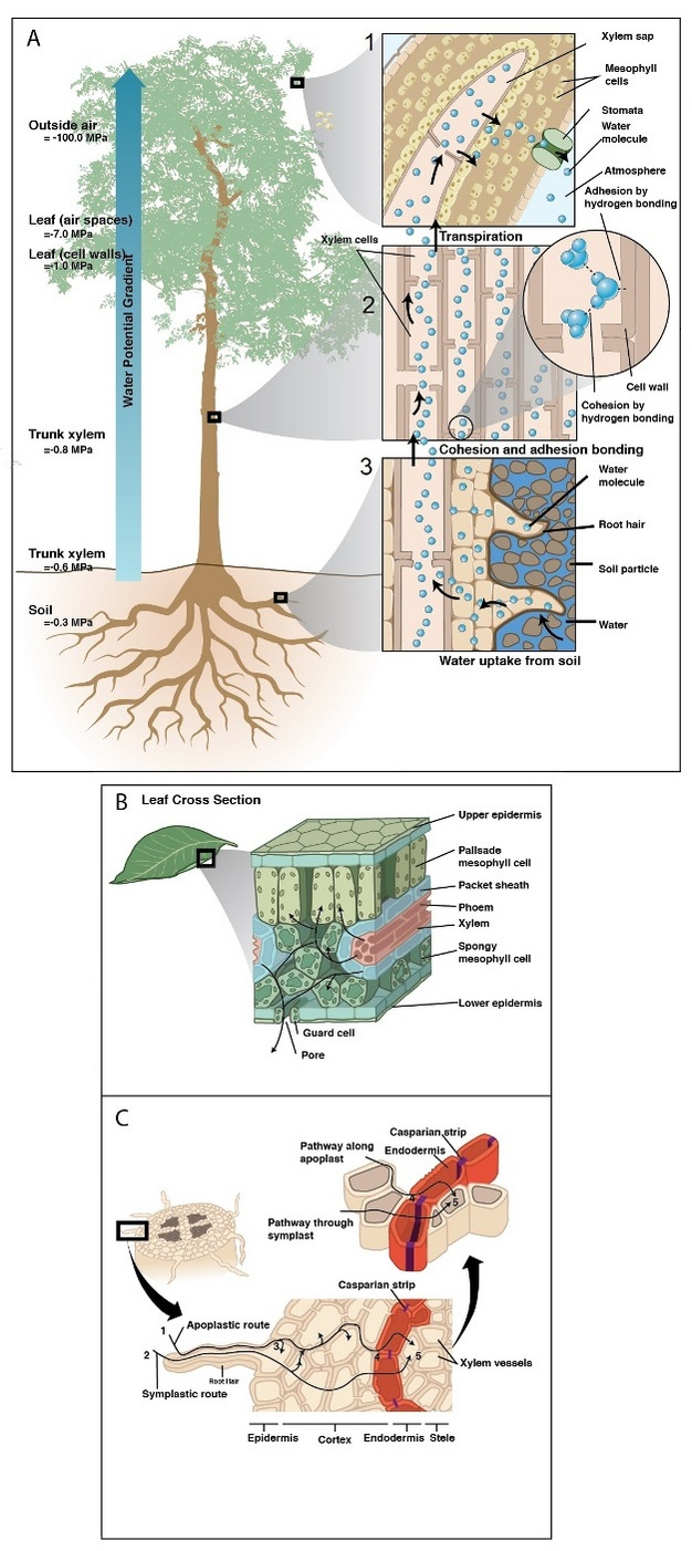 Water Uptake and Transport in Vascular Plants | Learn Science at ...
