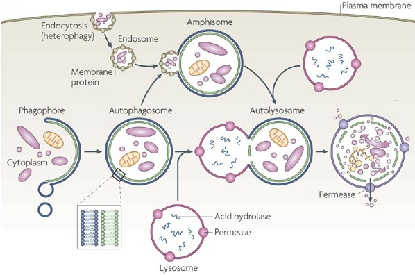 Lysosomes autophagy learn science at scitable a multi step diagram shows the autophagy pathway that occurs in yeast cells in ccuart Choice Image