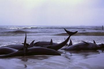 narcosis Sperm whale nitrogen