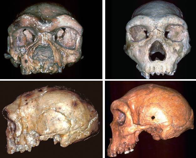Frontal (top) and lateral (bottom) views of typical Homo heidelbergensis crania from Europe and Africa (left: Petralona; right: Kabwe).
