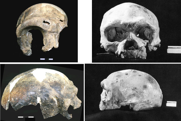 Frontal (top) and lateral (bottom) views of typical archaic Homo sapiens crania from China (left: Maba; right: Dali).
