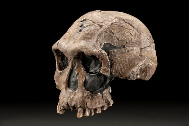 Photograph of a cast of KNM-ER 1813, a 1.9 million-year-old <i>Homo habilis</i> skull from Koobi Fora, Kenya.