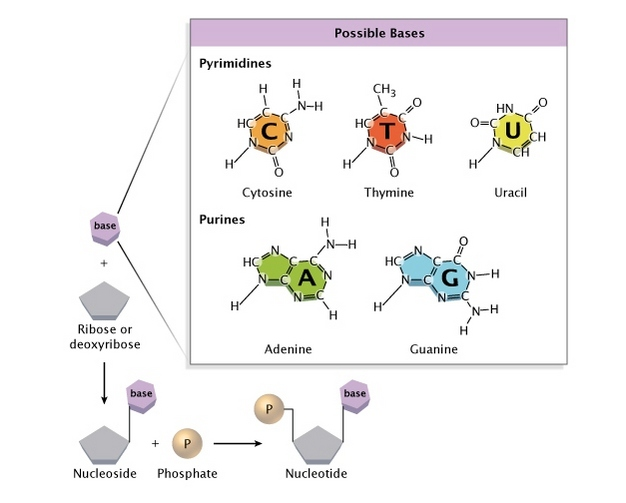 The Chemical Structure Of A Nucleotide Learn Science At Scitable