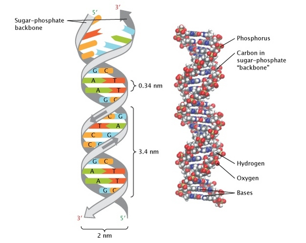 Discovery Of Dna Double Helix Watson And Crick Learn