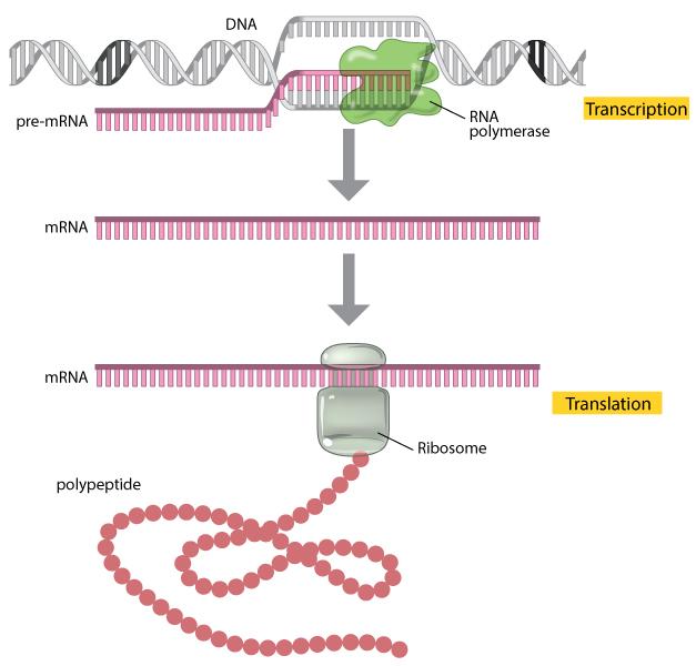Translation: DNA to mRNA to Pr...
