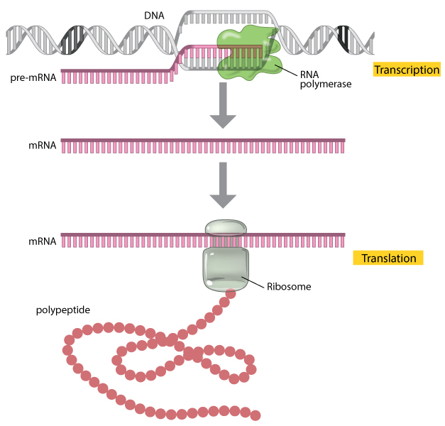 Translation: DNA to mRNA to Protein | Learn Science at Scitable