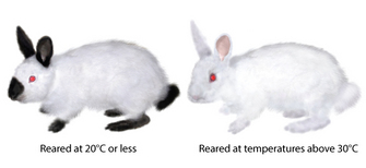 An illustration shows two rabbits side-by-side. The rabbit at left was reared at 20 degrees Celsius. It has a white body with black ears, nose, feet, and tail. The rabbit at right was reared at temperatures above 30 degrees Celsius. It is white with no black coloration on its body or extremities. Both rabbits have red eyes.