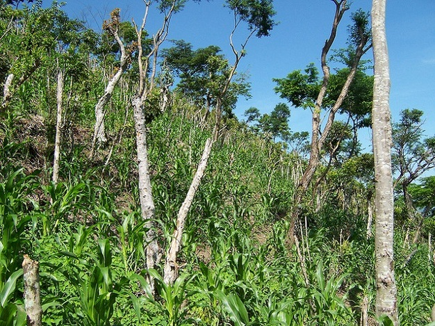 Appearance of vegetation in the Quesungual system soon after planting.