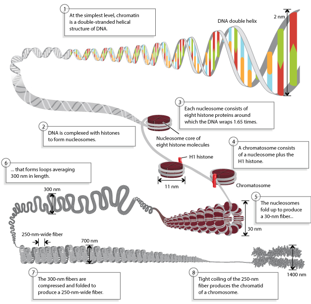 DNA Packaging: Nucleosomes and Chromatin | Learn Science at Scitable