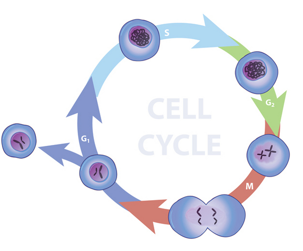Eukaryotes cell cycle learn science at scitable a series of arrows arranged in a circle show the four phases of the cell cycle ccuart Image collections