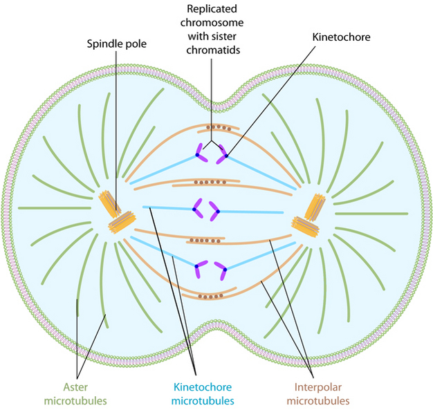 Mitosis learn science at scitable a schematic shows a dividing cell the middle of the cell is slightly indented ccuart