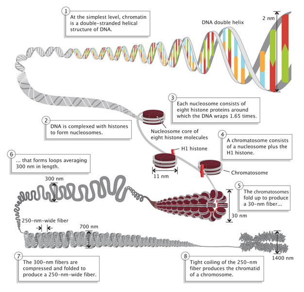 Eukaryotic Genome Complexity   Learn Science at Scitable