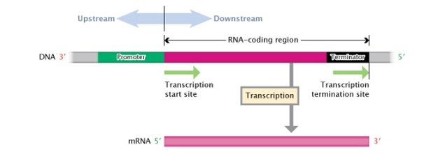 Translation dna to mrna to protein learn science at scitable a schematic illustration shows a region of dna that contains a discrete transcription unit the ccuart Images