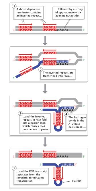 a five-step schematic diagram shows how rho-independent termination  sequences halt transcription