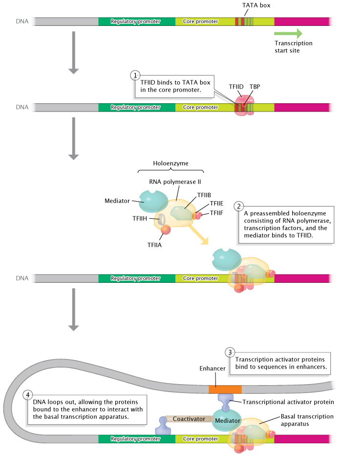 Viral Messenger RNA: Transcription, Processing, Splicing and Molecular Structure