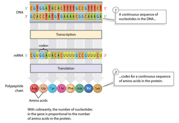 106_1_2 what is a gene? colinearity and transcription units learn science